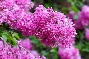 Spring lilac №37544