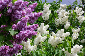 Lilac №37424