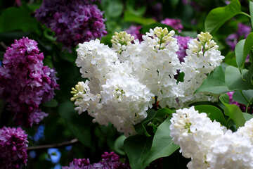 Lilac №37427