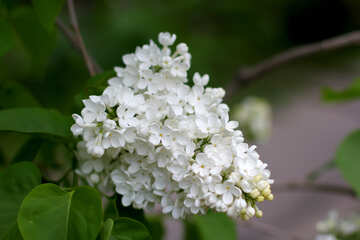 Beautiful white lilac №37576