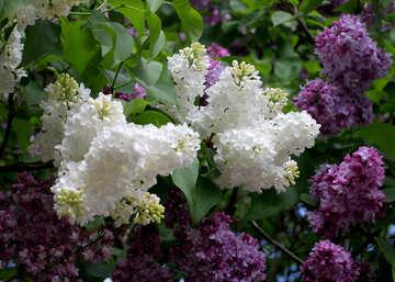 Colour lilac №37428
