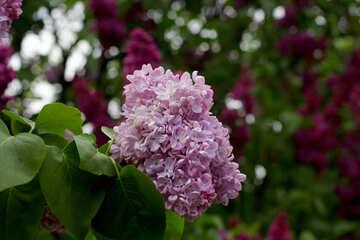Fiore lilla №37600