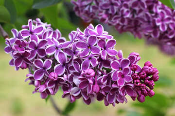 Lilac flowers with light contour №37405