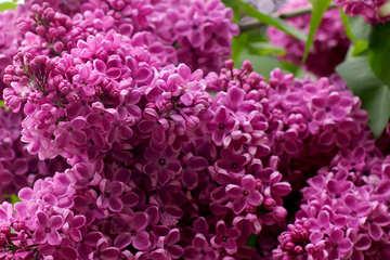 Lilac macro №37606