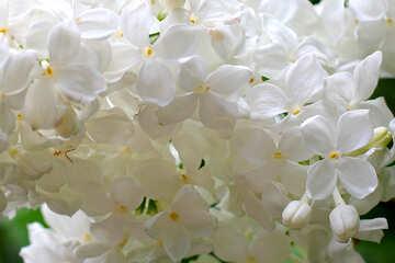 Macro flowers white lilac №37504