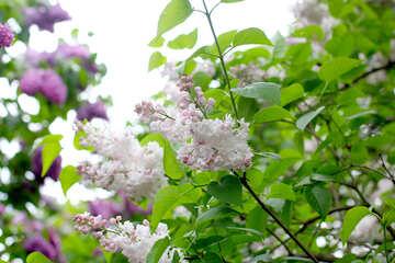 White lilac on Bush №37463