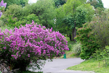 The track among the bushes of lilac №37411