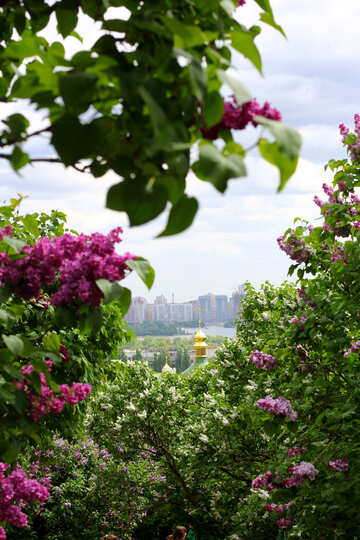 Lilacs in the town №37490