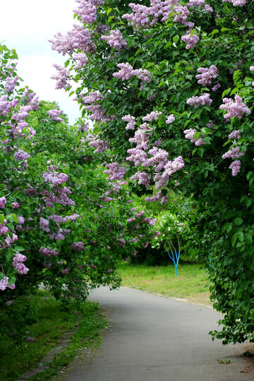The road to the lilac №37418
