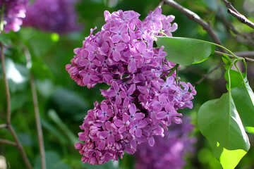 Blooming lilac №37492
