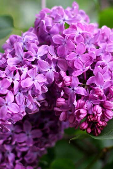 Große Blütenblätter der Flieder №37460