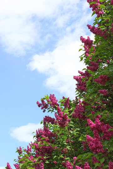 Cielo e lilla №37552