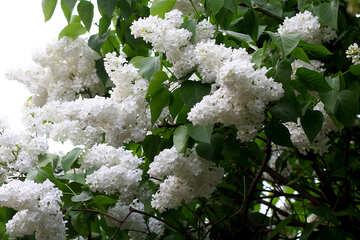 White lilac №37395