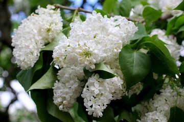 White lilac №37396
