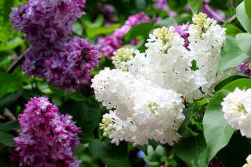 Lilac №37426