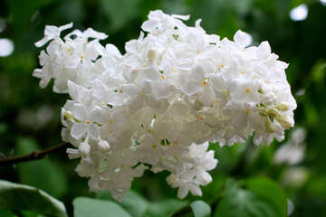 White lilac №37503