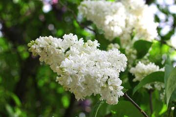 White lilac №37585