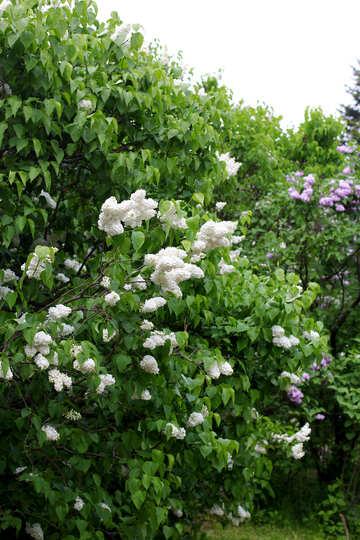 Lilac Bush №37376