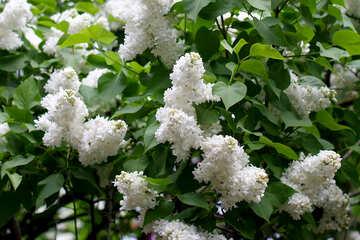 White lilac bushes №37573