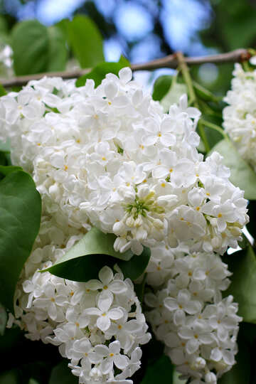 White lilac flower №37397