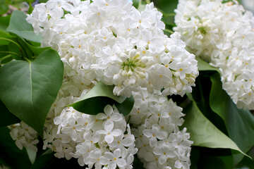 White lilac flowers №37398