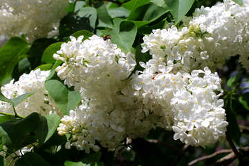 White fluffy lilac №37515