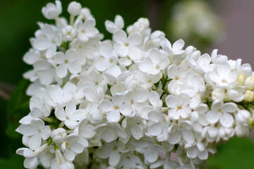 Large white lilac №37577