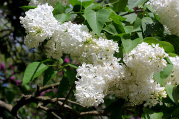 Terry White lilac №37514