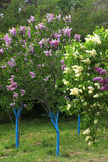 Varieties of lilacs №37414