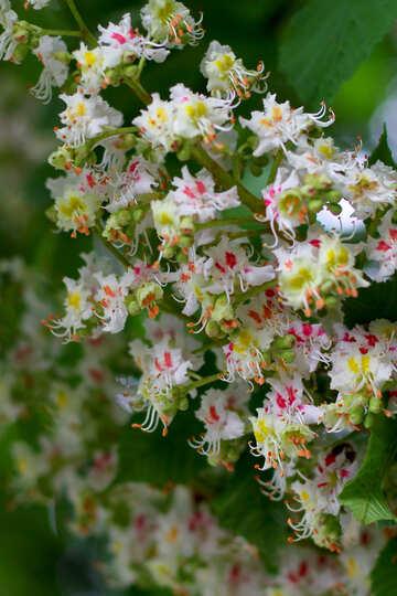 Castagno fiore macro №37664