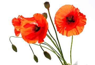 Bouquet of poppies without background