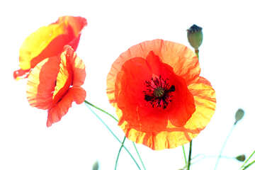 White background with poppies №37091