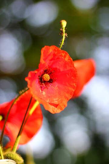 Red poppy №37044