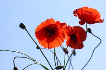 Drei rote Mohnblume №37116
