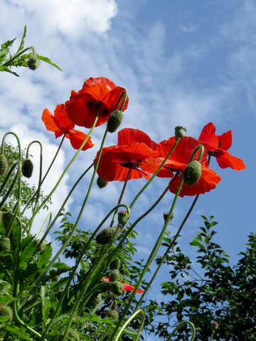 Poppy flowers against sky №37012