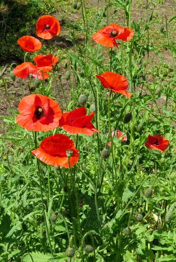 Poppy growing in the garden №37008