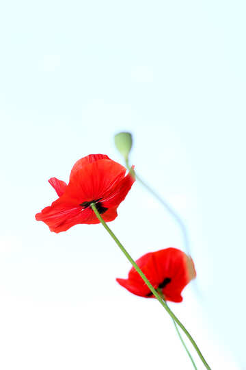 Poppy flowers with no background №37149