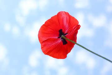 Poppy flower №37144