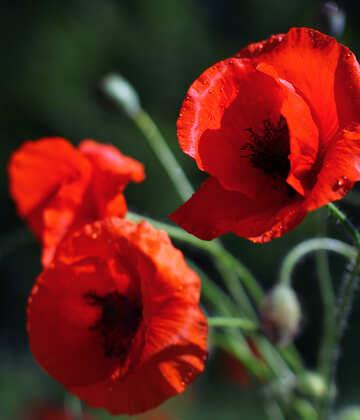 Poppy  №37112
