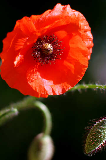 Beautiful background with flower poppy №37128