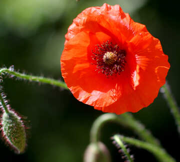 Beautiful poppy flower №37127