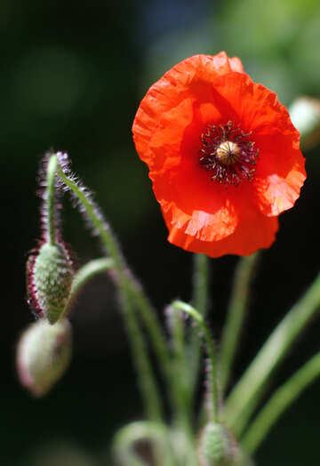 Poppy flower №37125