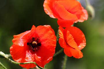 Red poppy flowers №37100