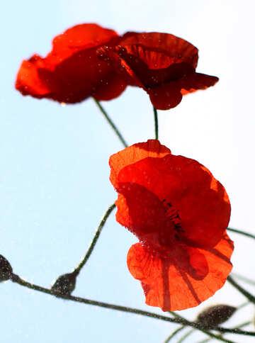 Flowers of the poppy №37067