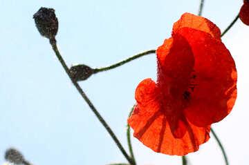 Poppy flower №37071