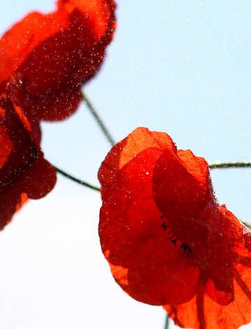 Poppy  №37075