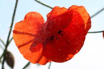 Poppy  №37085