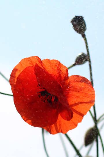 Poppy flower №37087