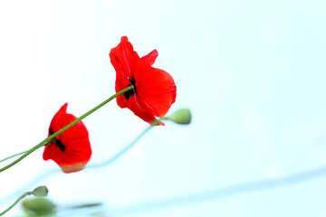 Poppy №37150