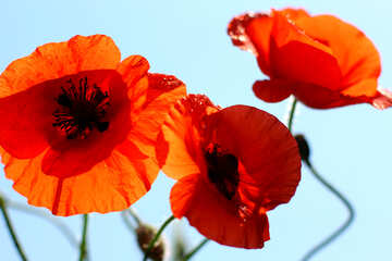 Red poppy flowers against sky №37113
